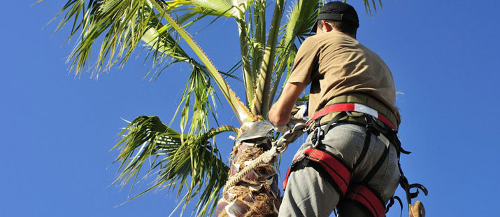 How Much Does it Cost to Trim a Palm Tree