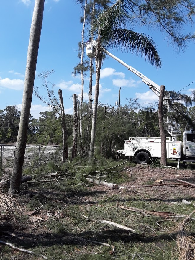 Tree Removal in Palm Beach