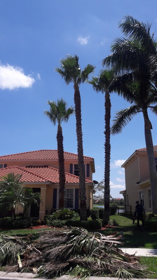 Palm-Tree-Trimming-Lake-Worth-SaveMore-Tree-Service