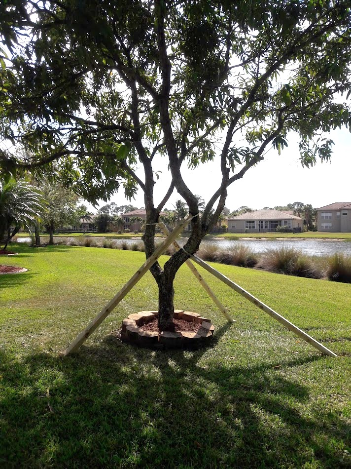 Tree Cabling and Bracing in Wellington - SaveMore Tree Service - Best Tree Service, Tree Trimming, Tree Removal and more in Loxahatchee, Wellington and Royal Palm Beach - Call 561-513-7883