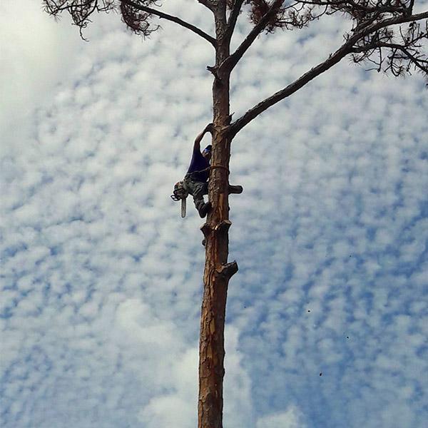 Tree-Removal-Tall-Pine-Tree-Loxahatchee-Savemore-Tree-Service