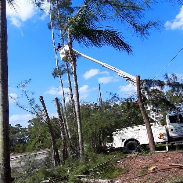 Tree-Removal-Tall-Pine-Tree-Loxahatchee-Savemore-Tree-Service_1