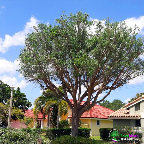 Storm Preparation and Tree Trimming Loxahatchee, West Palm Beach, Palm Beach Gardens, Wellington, Royal Palm Beach SaveMore Tree Service