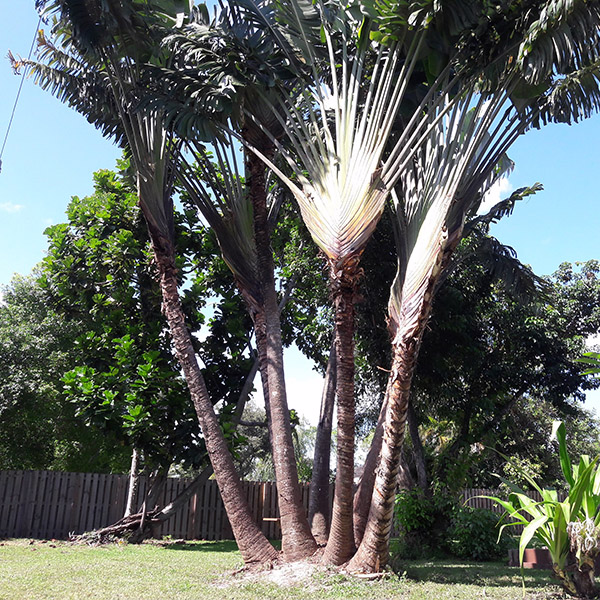 Tree Trimming in Loxahatche, FL - SaveMore Tree Service