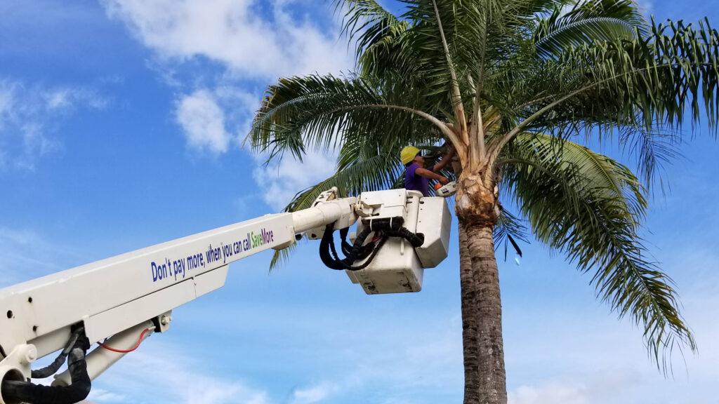 SaveMore Tree Service - Tree Removal and Tree Trimming Company - Loxahatchee, Wellington, Royal Palm Beach, West Palm Beach, Palm Beach County, The Acreage, Tree Surgeon